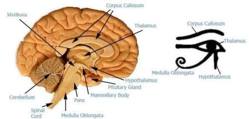 eye_of_horus_thalamus_brain-oudjat